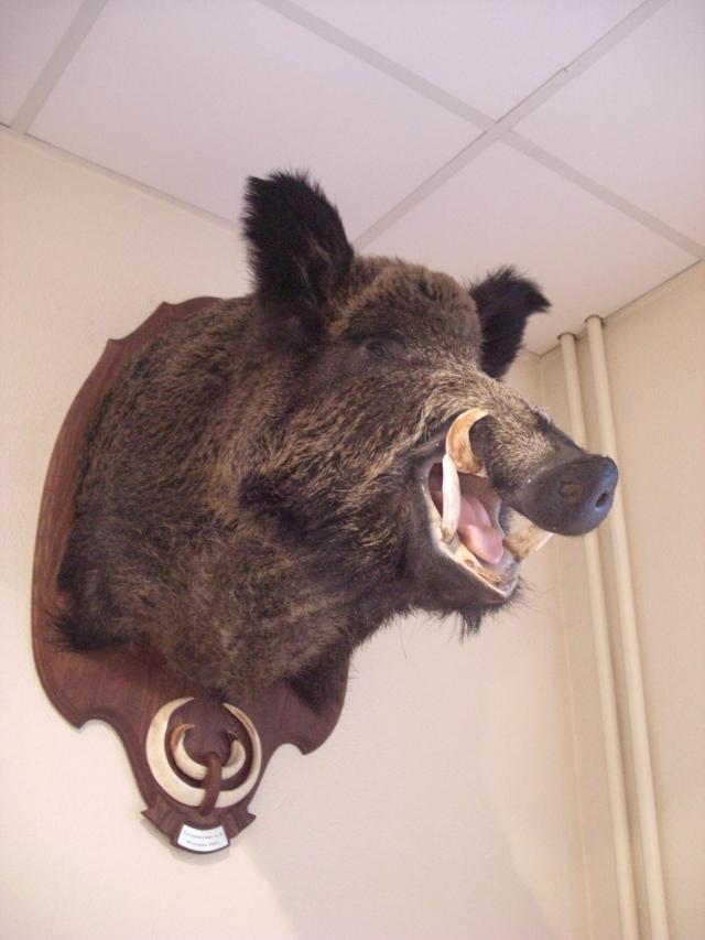 Wild_Boar_Trophy