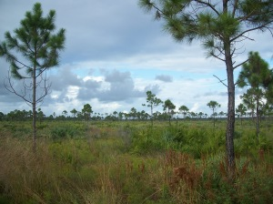 """Jensen Beach FL Savannas Preserve SP01"" by Ebyabe - Own work. Licensed under CC BY-SA 3.0 via Commons"