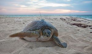 By U.S. Geological Survey from Reston, VA, USA (Tracking Sea Turtles) [CC BY 2.0 (http://creativecommons.org/licenses/by/2.0) or Public domain], via Wikimedia Commons